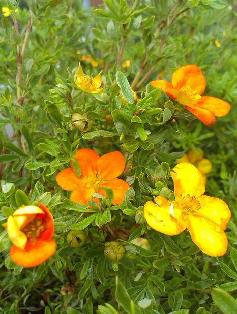 Trädgårdstok 'Bella Sol', Höjd 30 cm, Gul