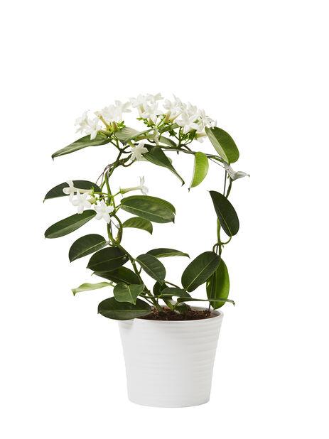 Doftranka  , Höjd 40 cm, Vit