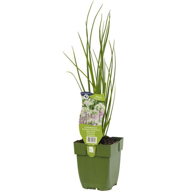 Kinesisk gräslök, Ø10.5 cm, Grön