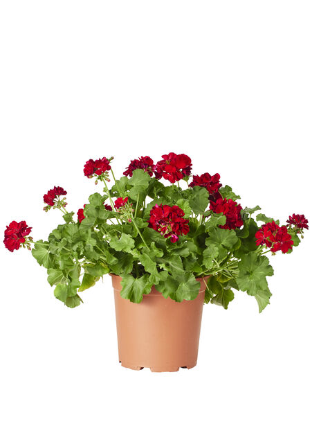 Kärlekspelargon, Ø27 cm, Röd