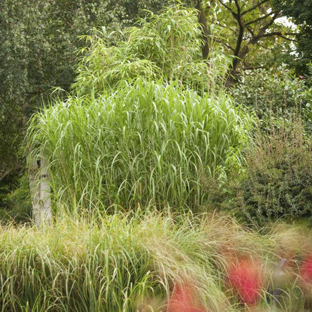 Elefantmiskantus, Höjd 90 cm, Grön