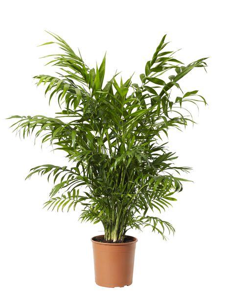 Bergpalm, höjd 90 cm