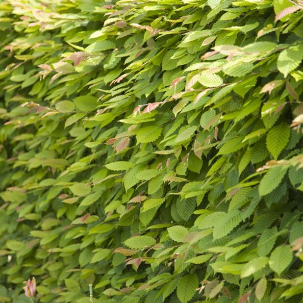 Bok, Ø17 cm, Grön