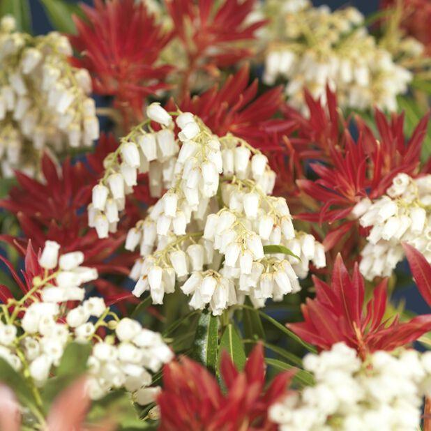 Japansk buskrosling 'Forest Flame' 2 L