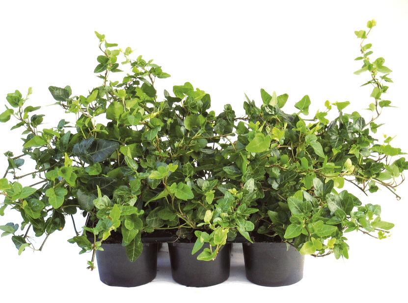 Murgröna, Höjd 10 cm, Grön