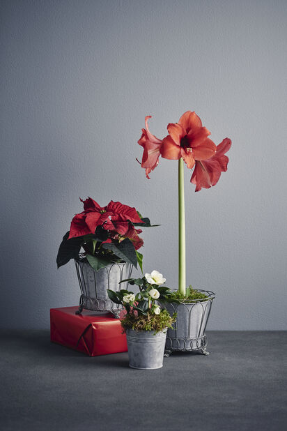Julstjärna, Höjd 25 cm, Röd