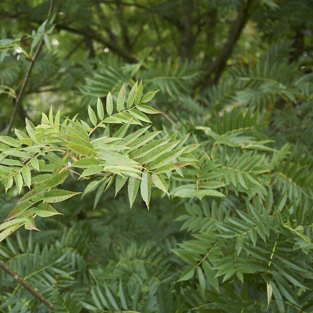 Ullungrönn 'Dodong', Höjd 250 cm, Grön