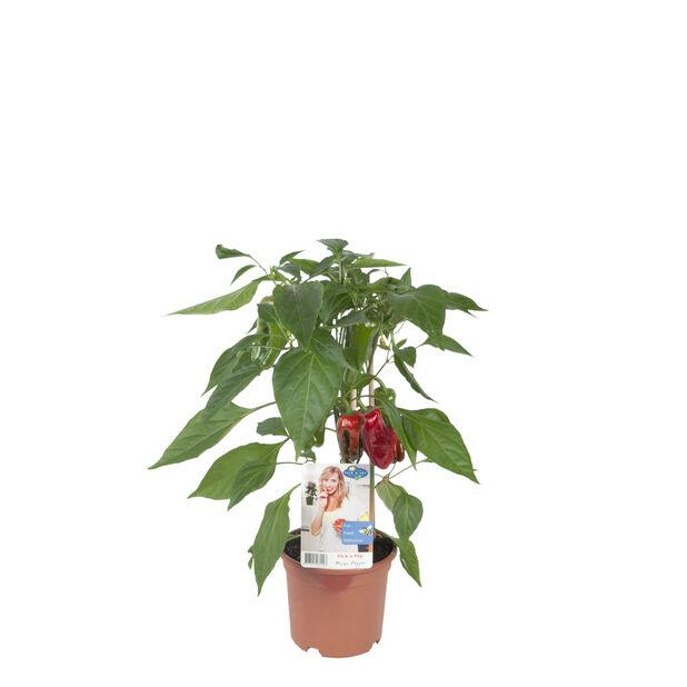 Snackpaprika, Ø14 cm, Röd