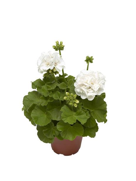 Pelargonium Calliope 'White' 12 cm