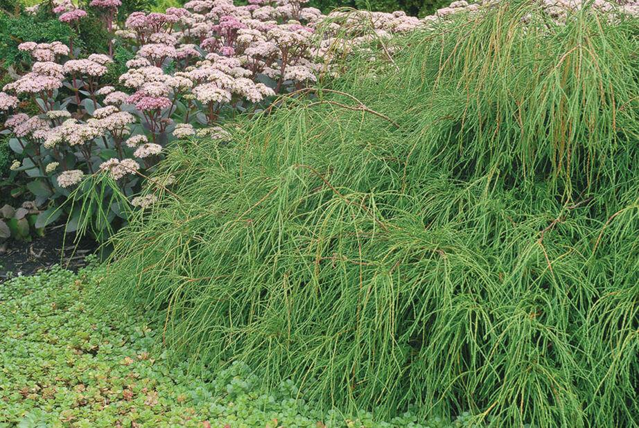Trådcypress 'Filifera Nana', Höjd 25 cm, Grön