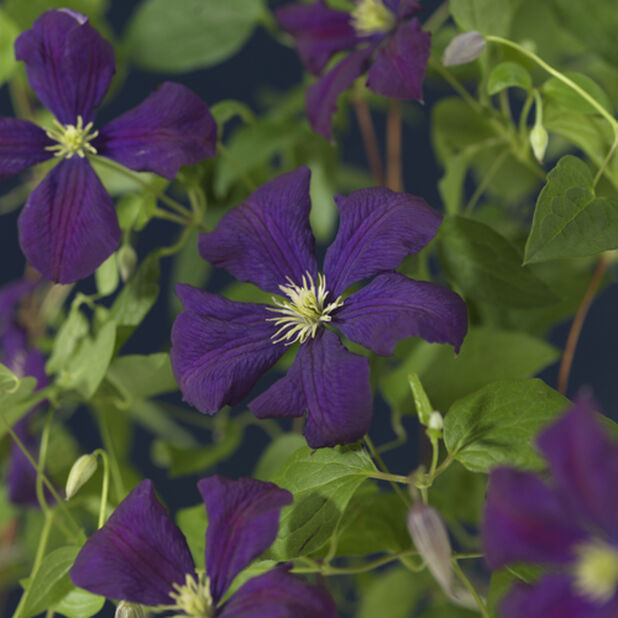 Klematis 'Etoile Violet', Höjd 70 cm, Lila