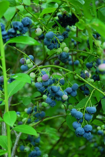 Amerikanskt blåbär 'Patriot', Ø17 cm, Blå