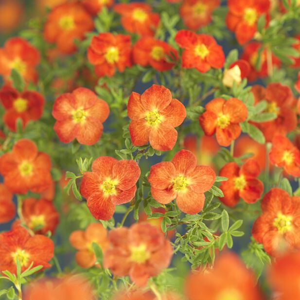 Trädgårdstok 'Red Ace', Ø23 cm, Röd