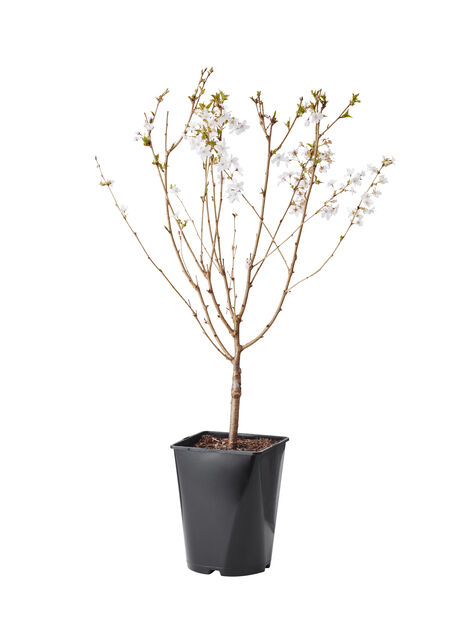 Kurilerkörsbär 'Brilliant', Ø22 cm, Vit