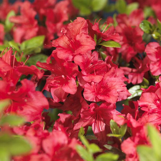 Japansk azalea 'Arabesk', Ø23 cm, Röd