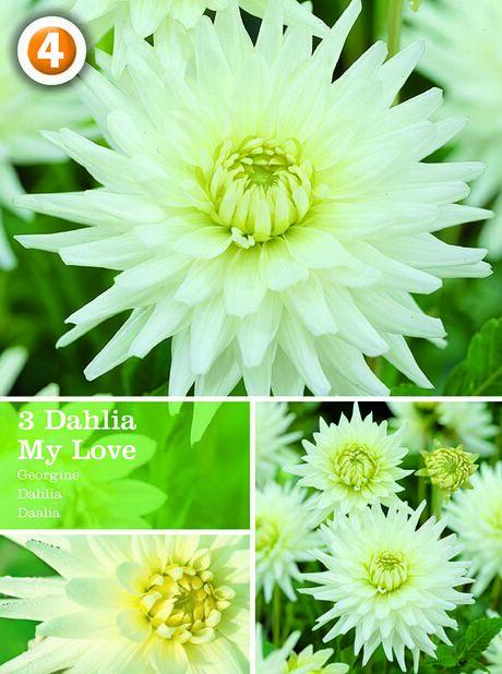 Dahlia 'My Love', Vit