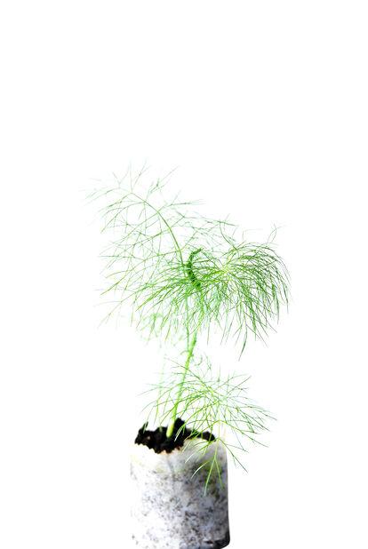 Fänkål KRAV, Ø10.5 cm, Grön