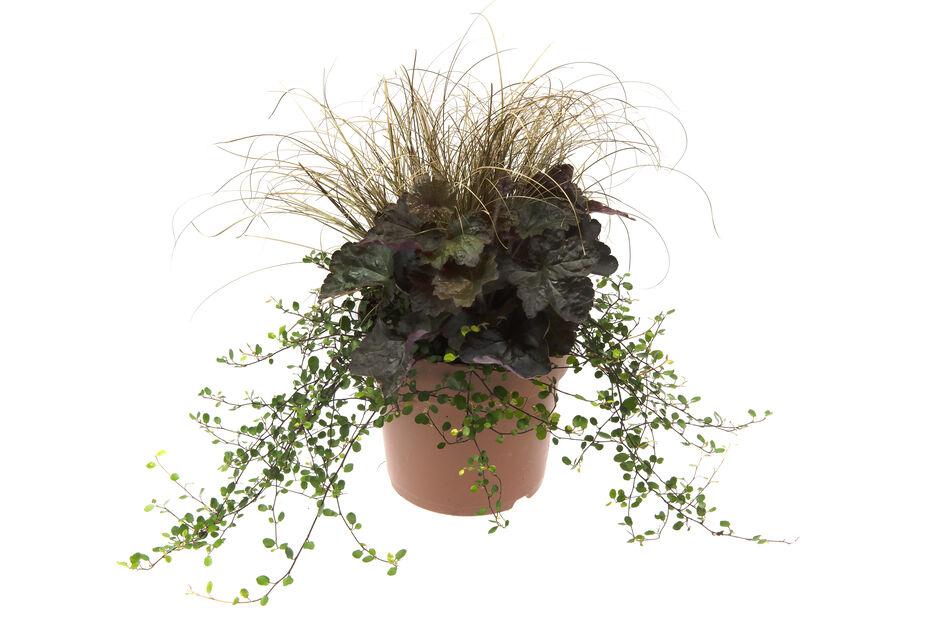 Höstblommor Trendy Pixie, Ø17 cm, Flerfärgad