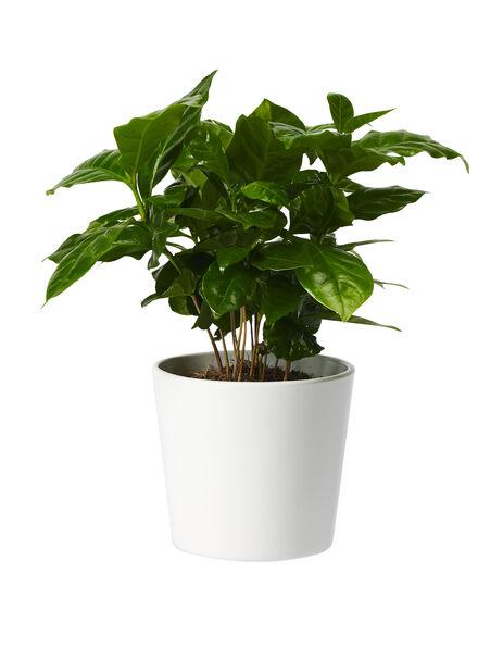Kaffebuske liten