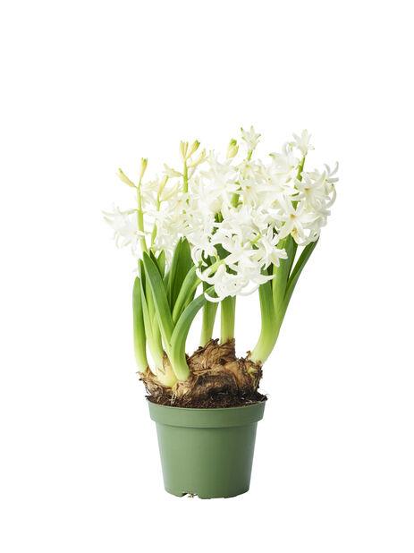 Hyacint, Ø9 cm, Flera färger