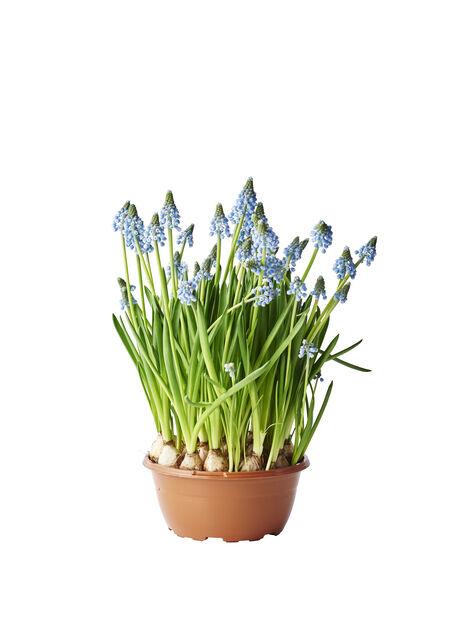 Pärlhyacint, Ø17 cm, Blå