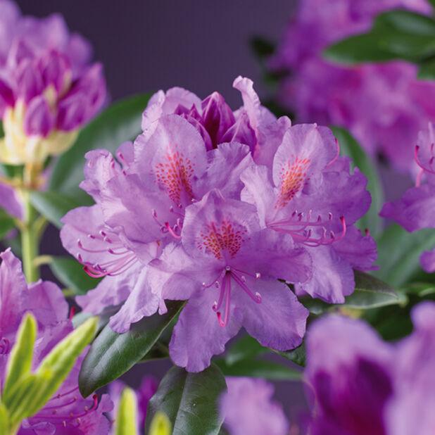 Parkrododendron Grandiflora H40-50 cm
