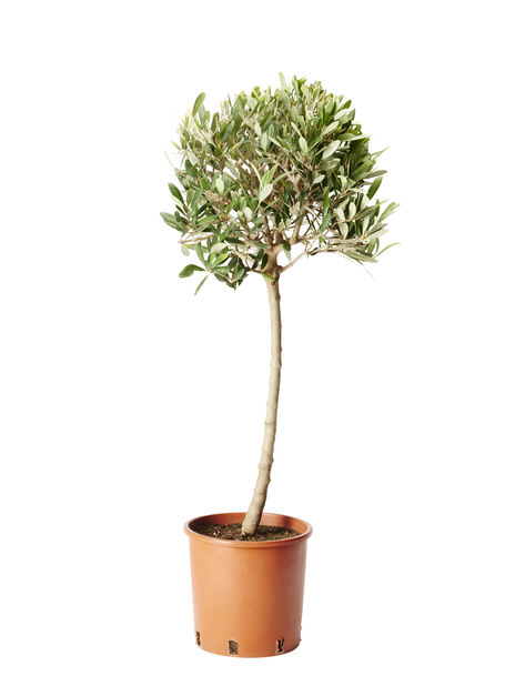 Olivträd, Ø19 cm, Grå