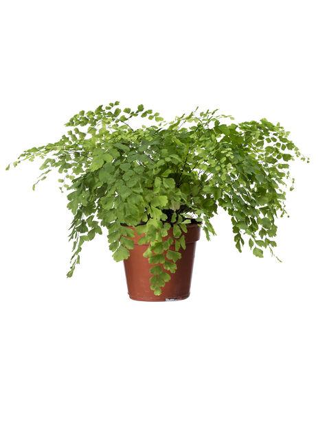 Venushår , Höjd 25 cm, Grön