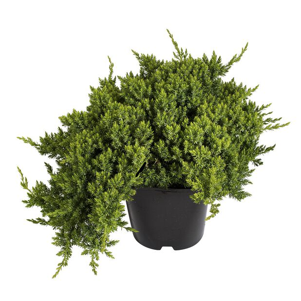 Japansk kryp-en 'Nana', Ø26 cm, Grön