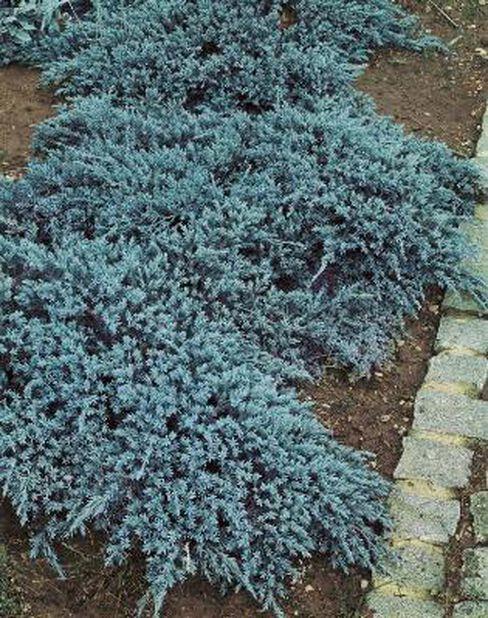 Himalaya-en 'Blue Carpet', Blå