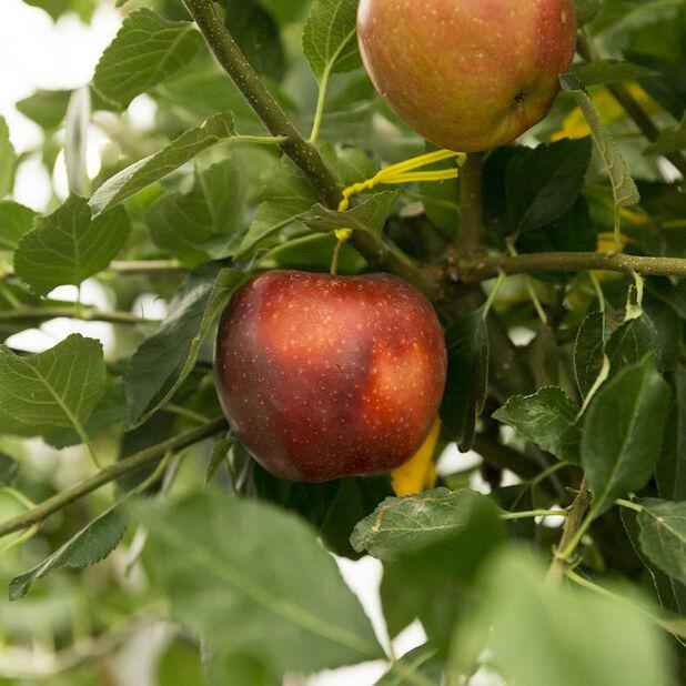 Äpple 'James Grieve' , Höjd 180 cm, Röd