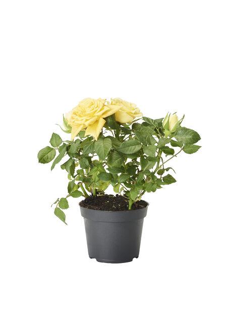 Ros i kruka , Höjd 12 cm, Gul