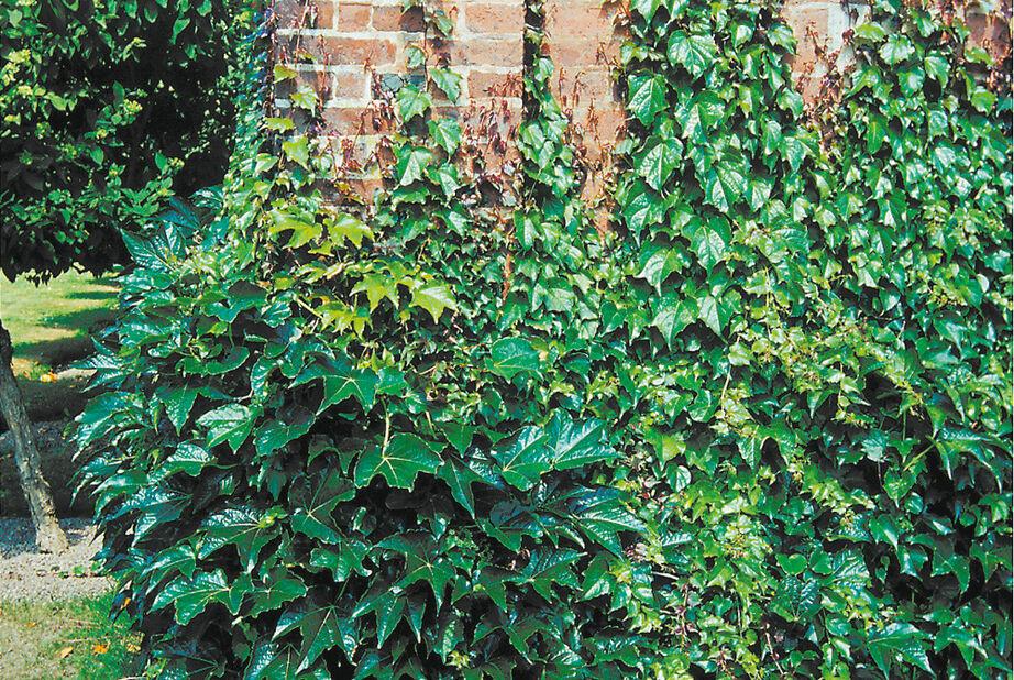 Rådhusvin 'Veitchii', Höjd 80 cm, Grön