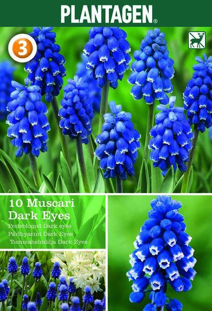 Pärlhyacint 'Dark Eyes', Lila