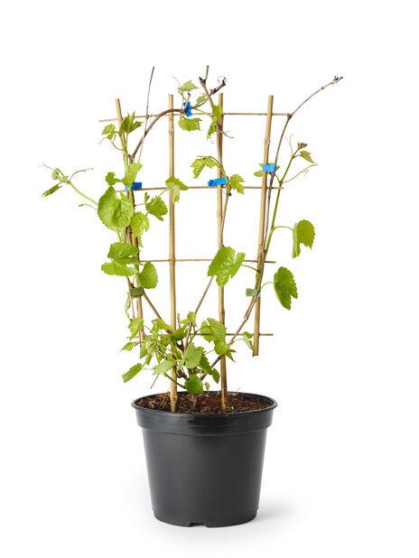 Labruskavin 'Spulga' på spaljé, Höjd 65 cm, Grön