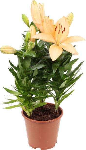 Lilja 'Aziaten', Höjd 40 cm, Flera färger