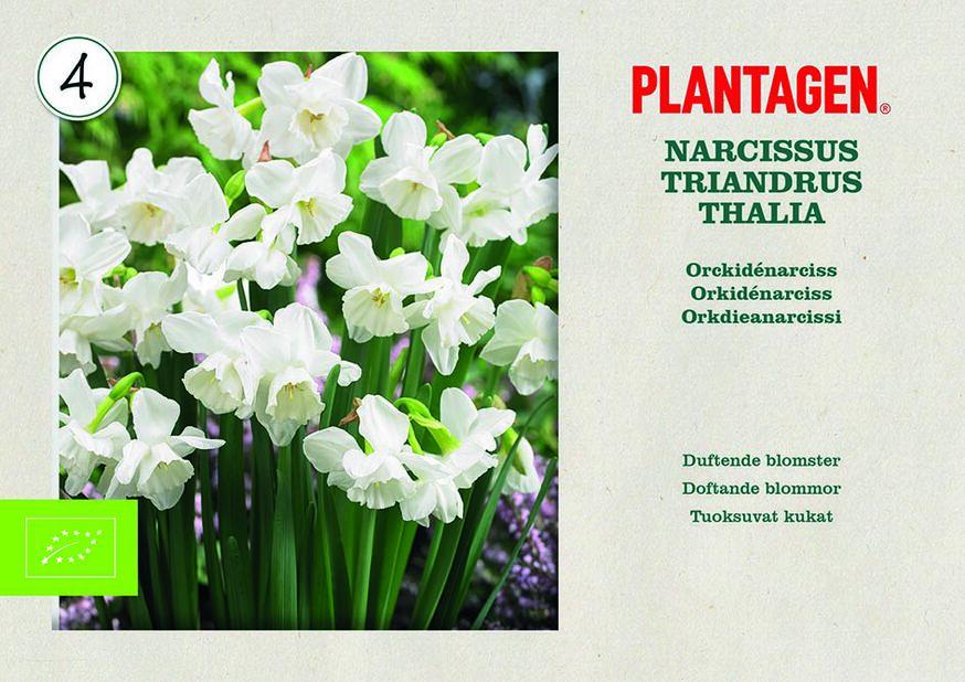 Orkidénarciss 'Thalia' EKO, Vit