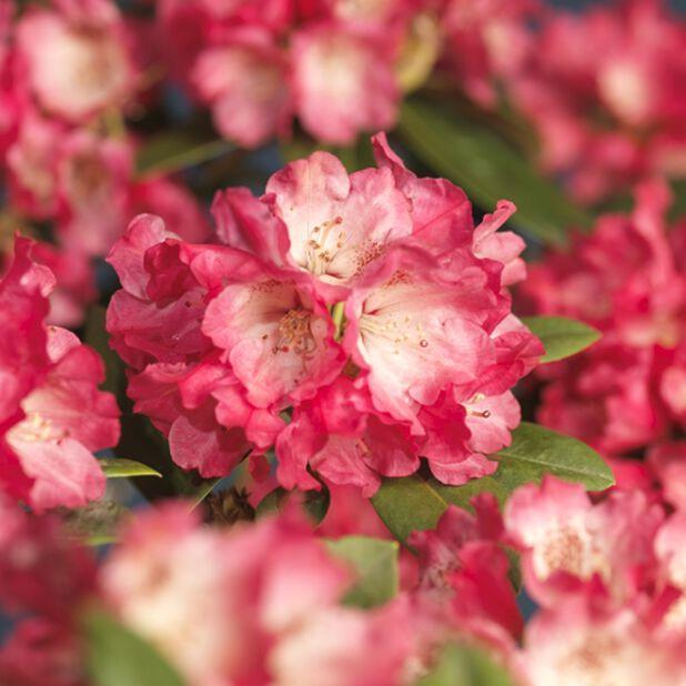 Yakushimanum-rododendron Fantastica