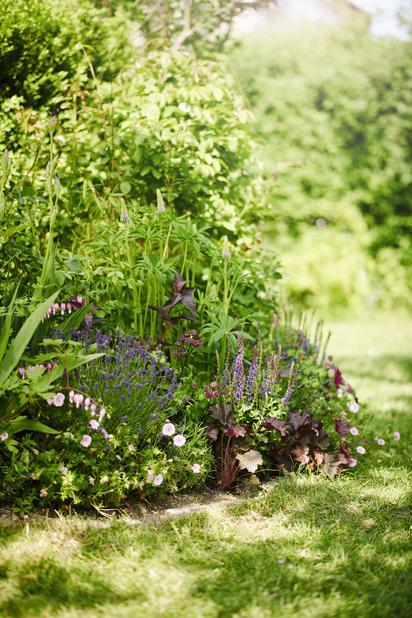 Lavendel 'Grosso', Höjd 10 cm, Blå