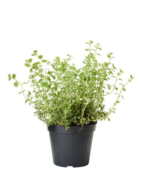 Oregano, Ø14 cm, Grön