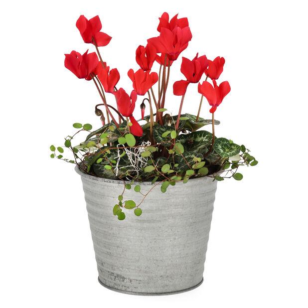 Samplantering cyklamen, Ø14 cm, Röd