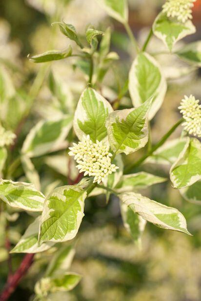 Rysk kornell Elegantissima
