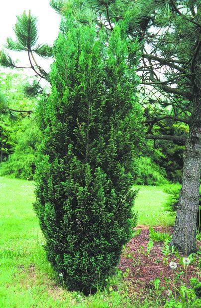 Ädelcypress 'Ellwoodii', Höjd 50 cm, Grön