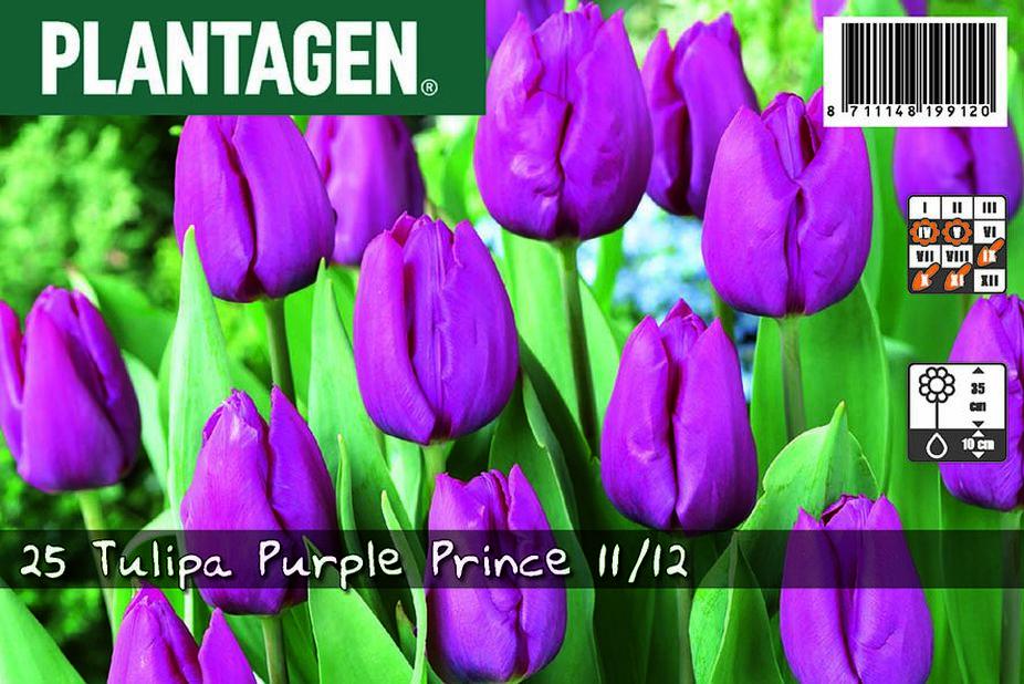 Tulpan 'Purple Prince', Lila