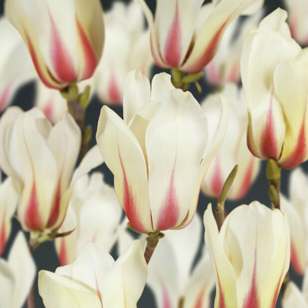 Magnolia 'Sunrise' , Höjd 60-80 cm, Vit