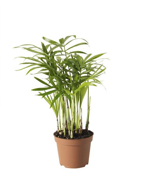 Bergpalm mini, Höjd 10 cm, Grön