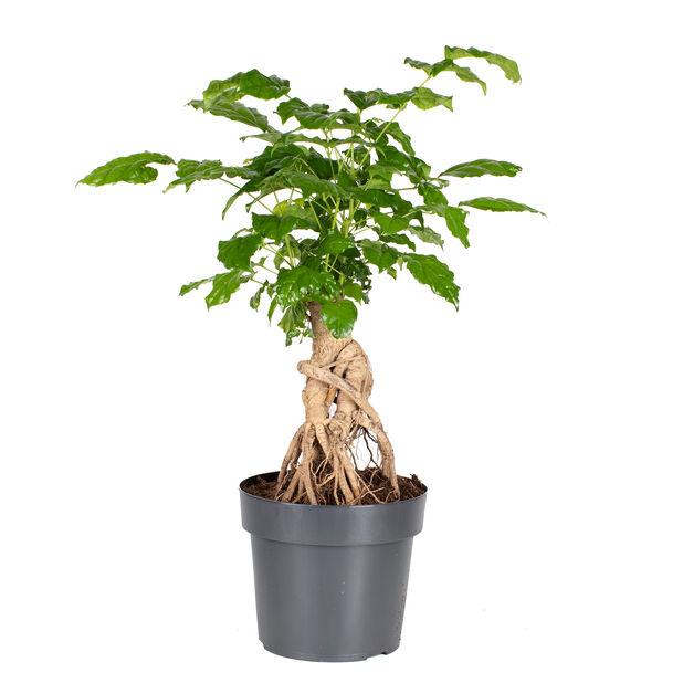 Rumsask, Höjd 40 cm, Grön