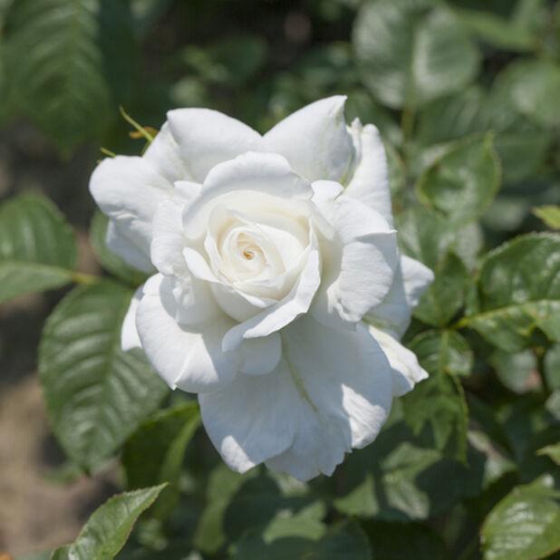 Storblommig ros 'Annapurna', Ø19 cm, Vit
