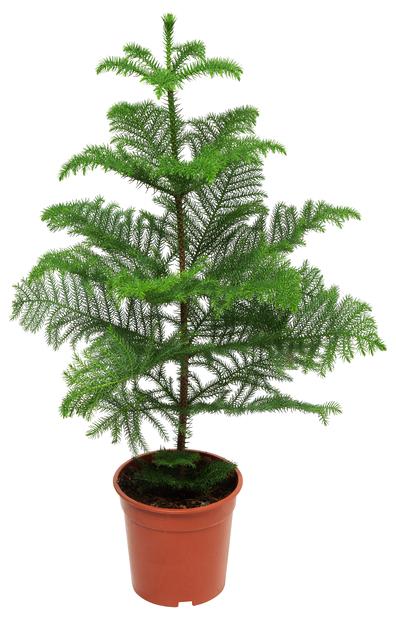 Rumsgran, Höjd 110 cm, Grön