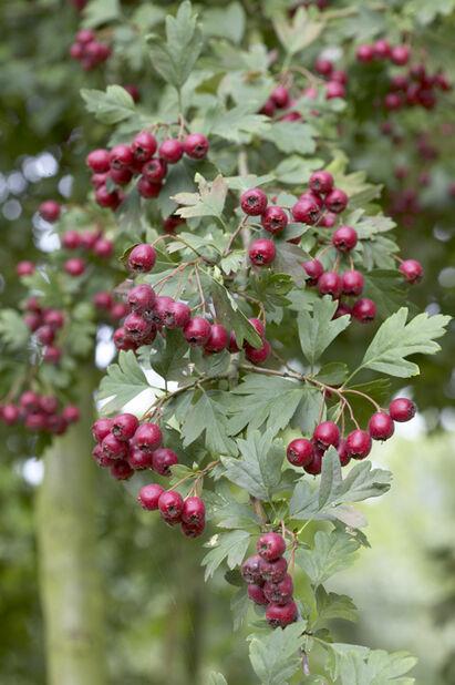 Häckhagtorn , Ø17 cm, Grön